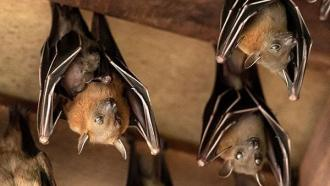 Photo of bats in the wild from the Clark County Park District.